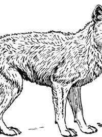 Kleurplaat Gevaarlijke Dieren Kleurplaten Wolf Topkleurplaat Nl