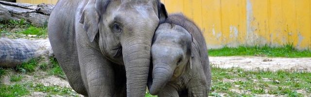 kleurplaten olifant