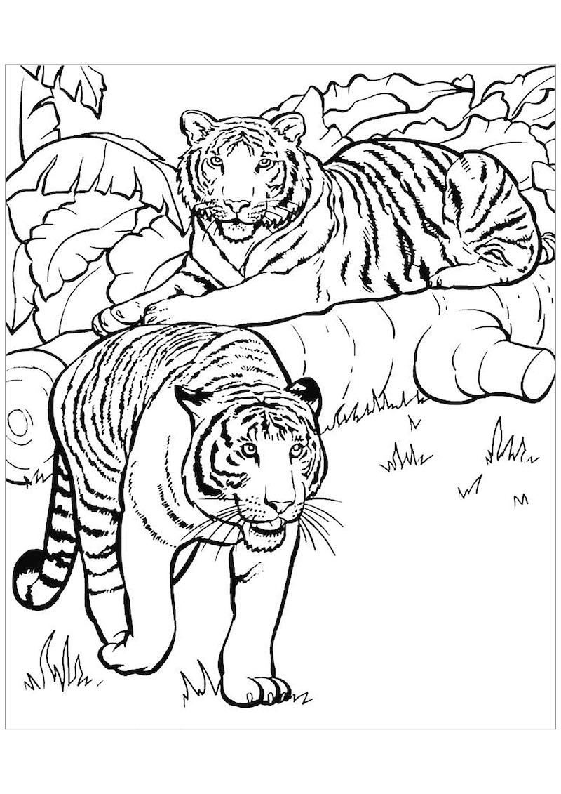 tijgers in de natuur